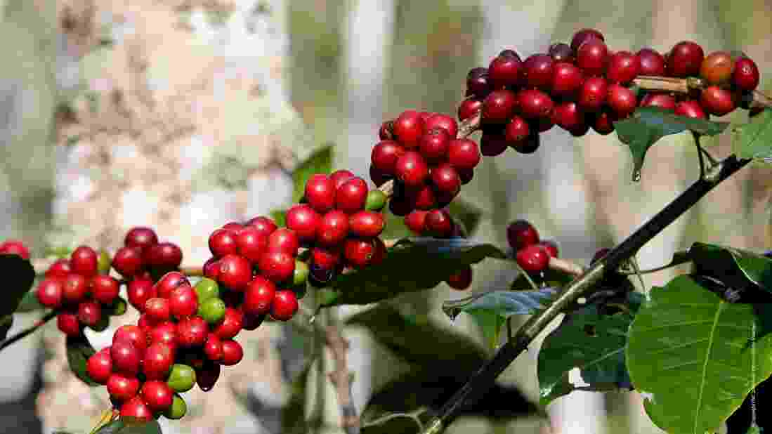 semilla cafe_0